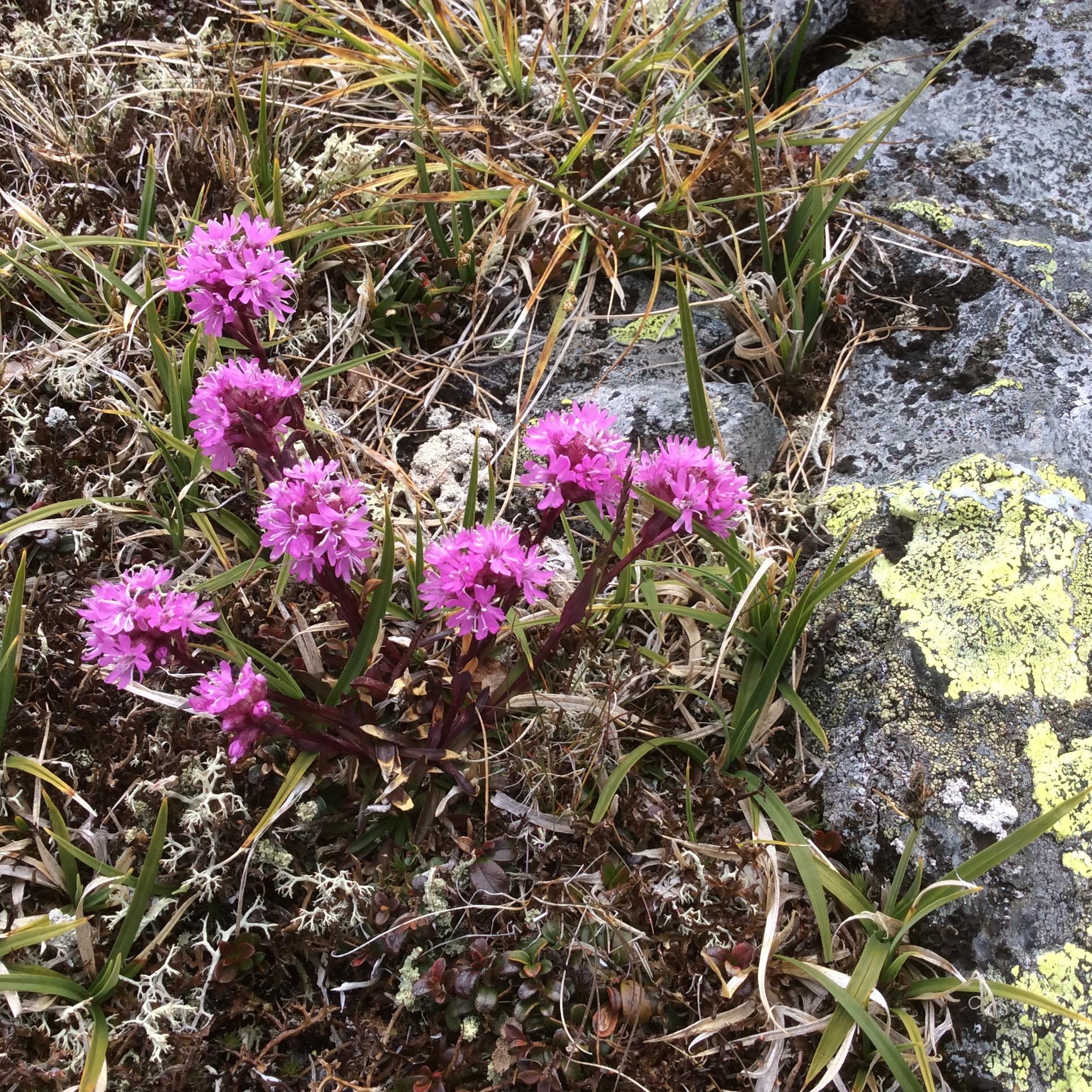Fjelltjæreblom er en vakker representant for de tofrøbladete plantene. Vegetasjonen i fjellet er fargesterk, artsrik og tilpasset et liv under ekstreme forhold