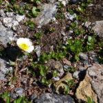 Hvit blomst i fjellet